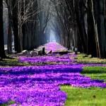 Wiese mit vielen lila Krokussenn