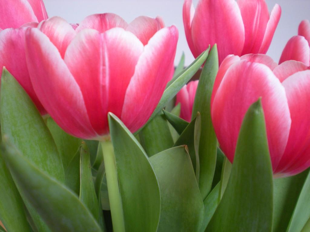pinke Tulpenblüten
