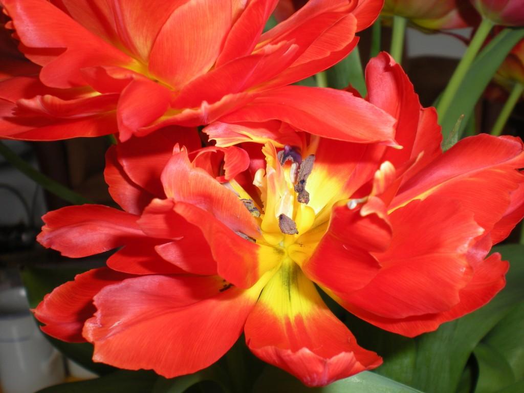 Rote Tulpenköpfe