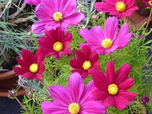 Jungfer im Grünen, Lila und rote Blüten