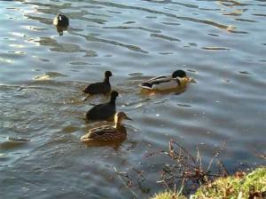 Natur, Enten schwimmen auf dem wasser