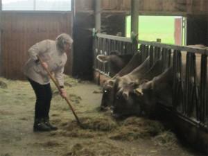 Frau fütter Kühe mit Heugabel