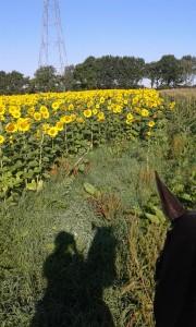 Sonnenblumenfeld mit Pferdeschatten