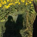 Schatten einer Reiterin vor Sonnenblumen