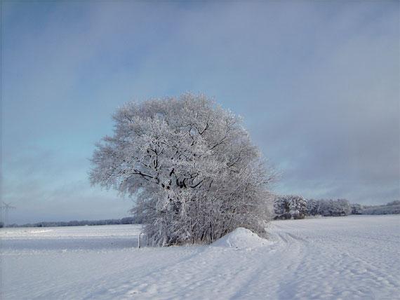 Einzelner Baum voller Raureif