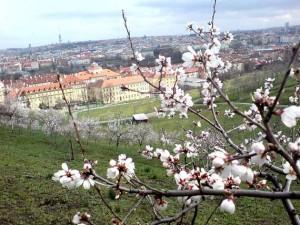 Petrin-Hügel, Kirschbäumchen in Blüte, im Hintergrund die Stadt