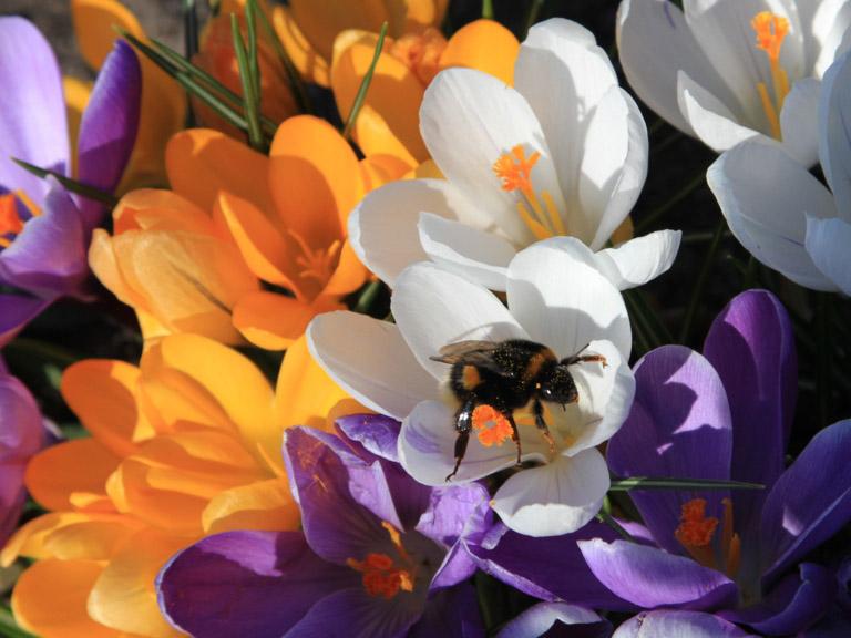 Krokussblüten mit Honigbiene