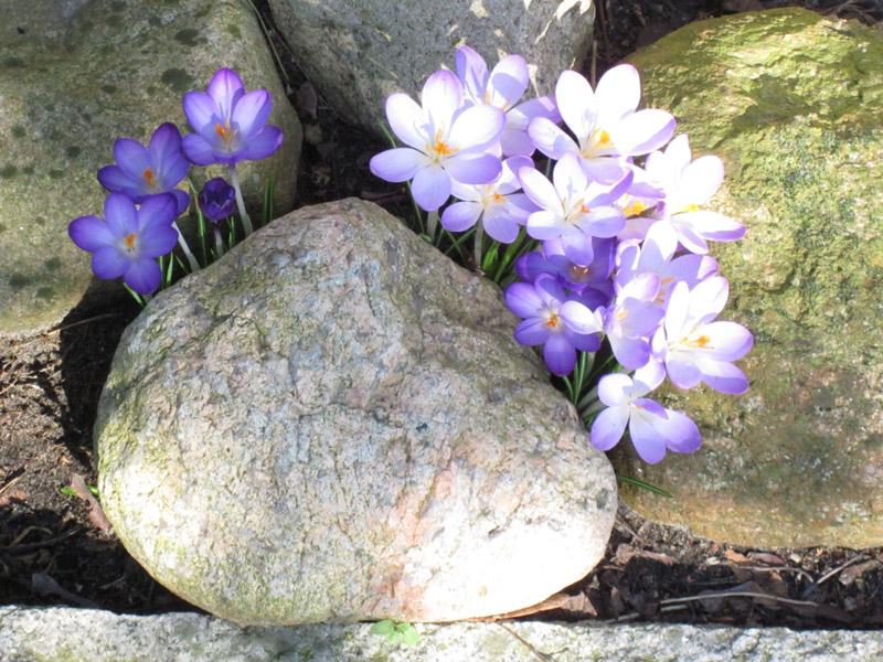Krokusse hinter einem Stein