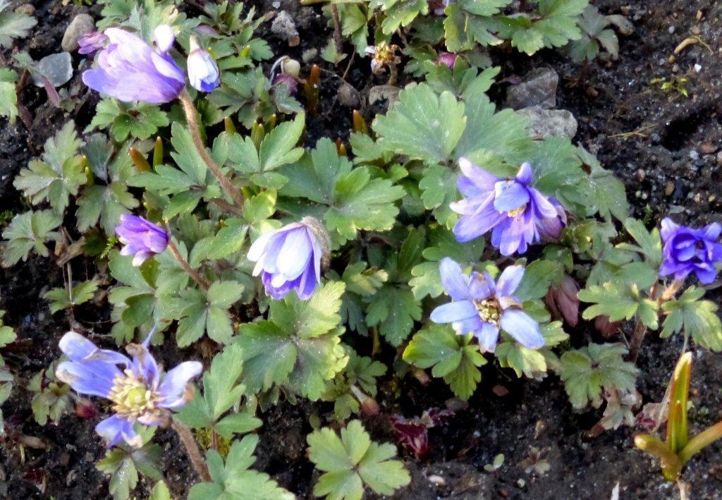 Lila Frühlingsblumen