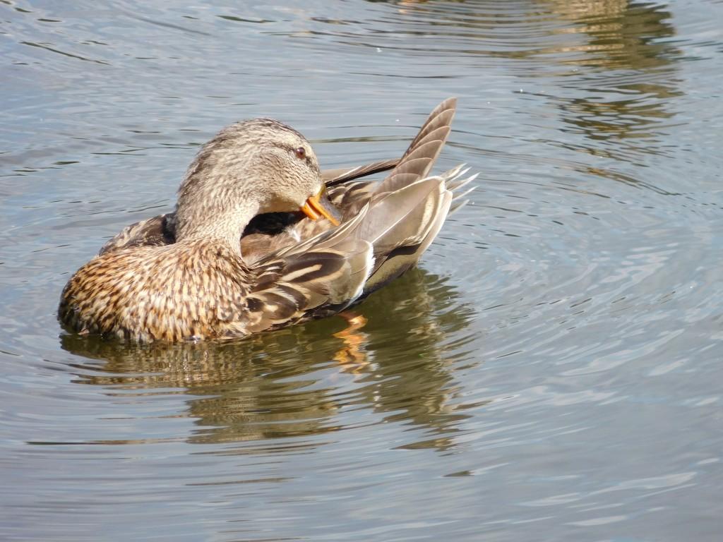 Entenweibchen auf dem Wasser