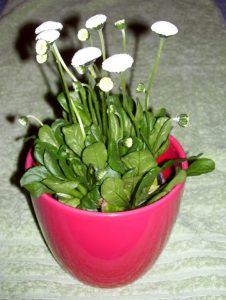 Kleiner roter Topf mit Gänseblümchen