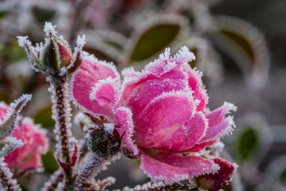 Pinke Rose mit Rauhreif