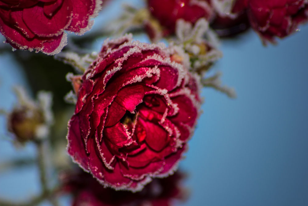 Rote Rose mit Rauhreif