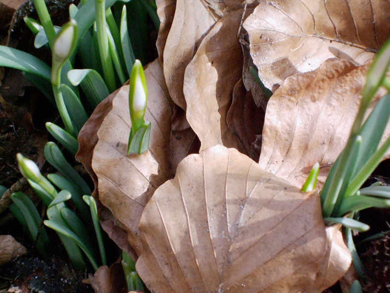 Schneeglöckchenblüte bohrt sich durch ein Blatt