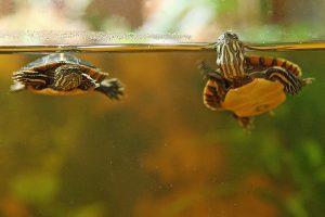 Zwei Wasserschildkröten