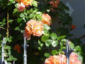 Rosenbusch in apricot