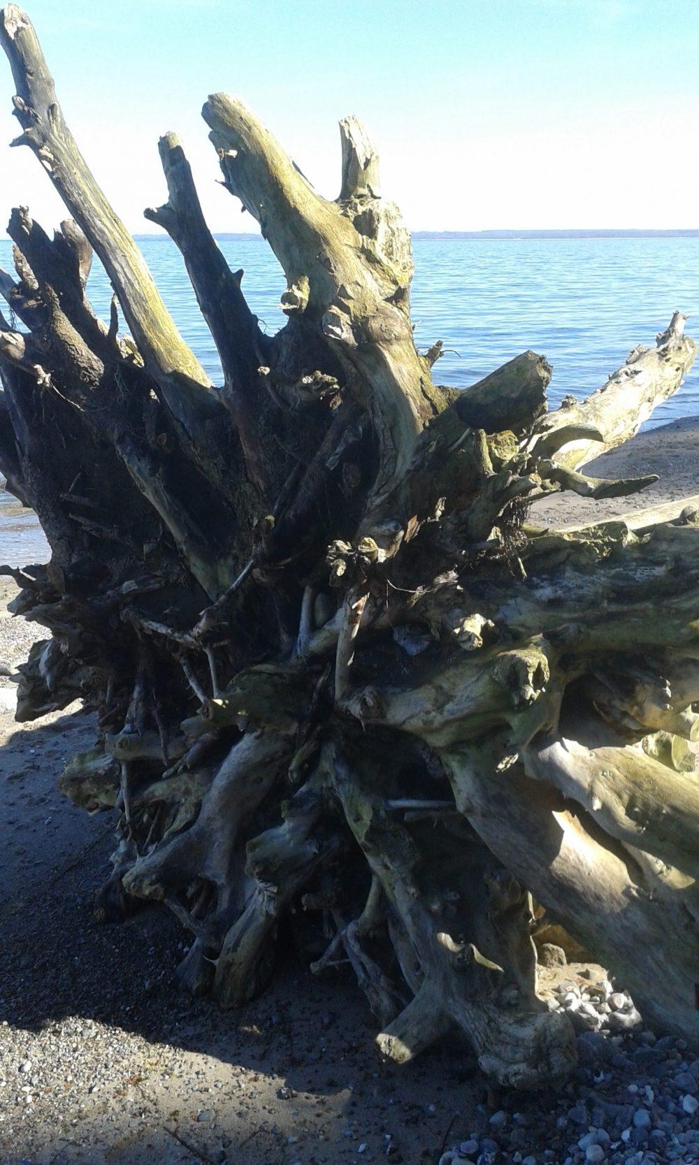 Herausgerissene Baumwurzel am Strand