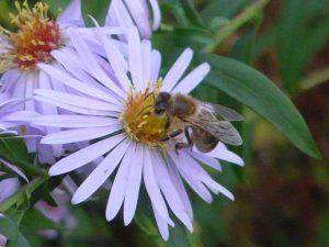 Biene auf einer fliederfarbenen Blüte