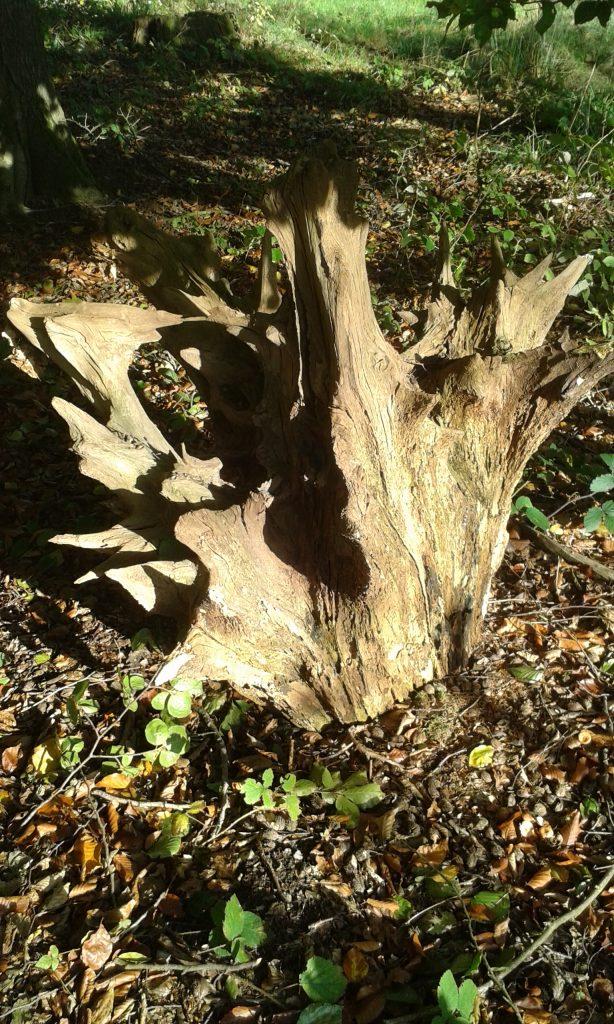 Herbstsonne, Tote Baumwurzel im Sonnenlicht, nah