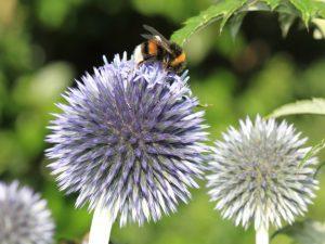Insektensterben, Silberdistelblüte mit Biene