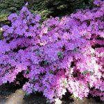 Lilafarbener Rhododendronbusch