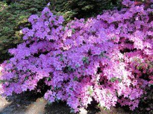 Ein Garten ist gut für die Seele, Lilafarbener Rhododendronbusch