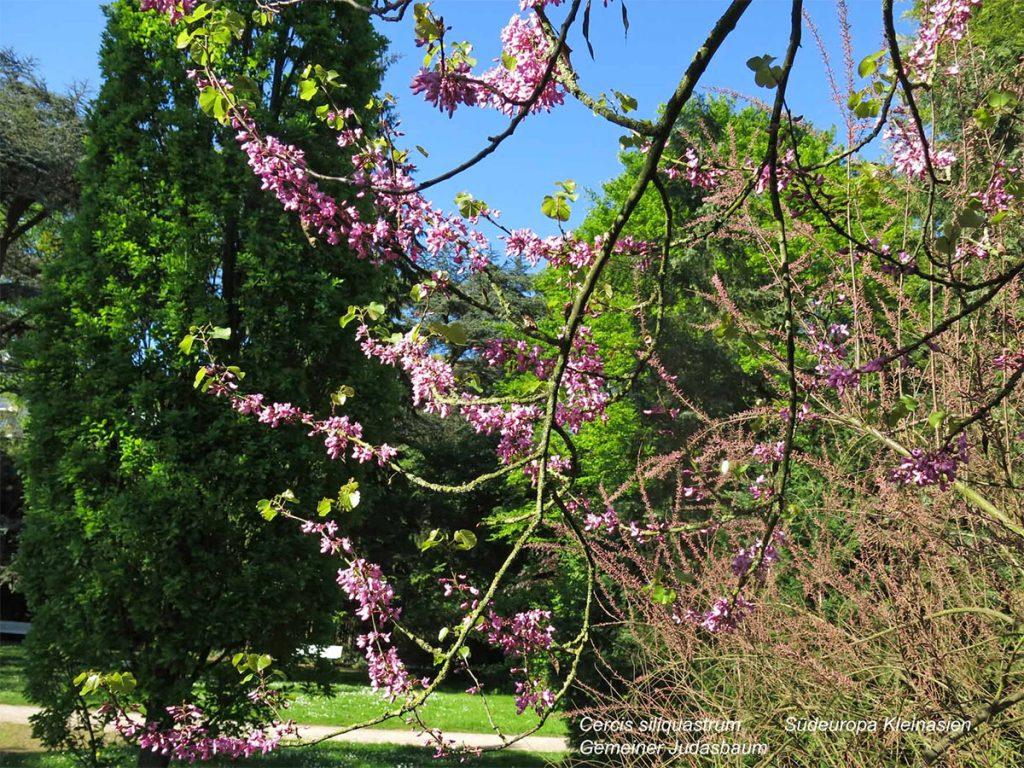 Vegesacker Stadtgarten, Äste mit rötlichen Blüten