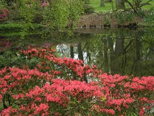 Rosa blühende Rhododendren am See