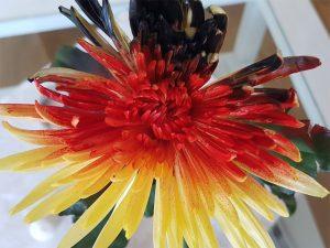 Chrysantheme in den Deutschlandfarben