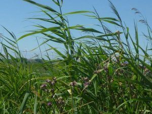Gräser vor blauem Himmel